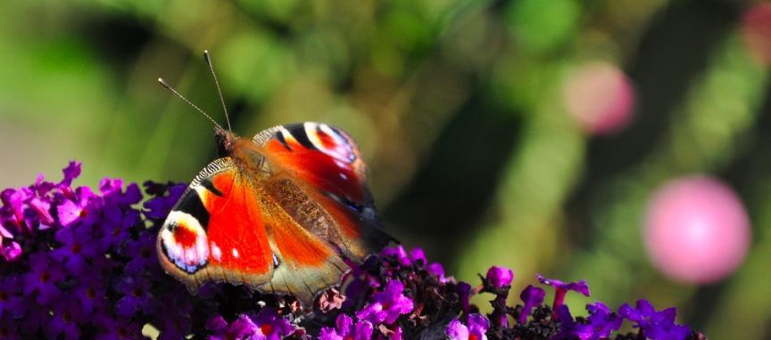 Papillon Butte Bergeyre